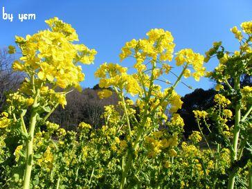 甘樫丘菜の花