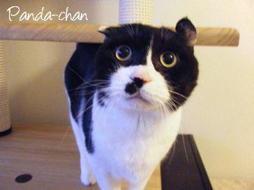 ペット紹介-ネコのパンダちゃん-1