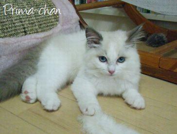 東京ペットシッターSOS文京店-ペルシャ猫のプリマちゃん-
