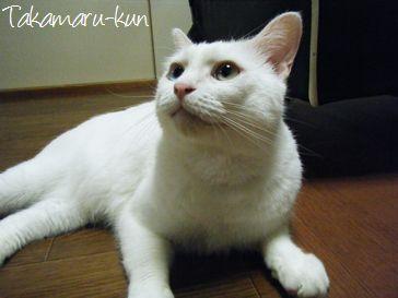 東京文京区ペットシッター-ネコの高丸くん-