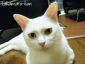 東京豊島区ペットシッター-ネコの高丸くん-