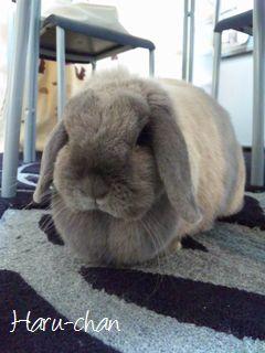 東京文京区ペットシッター-ウサギのハルちゃん-