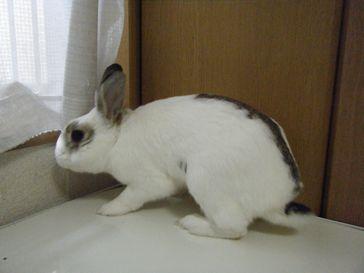 東京荒川区ペットシッター-ウサギ-