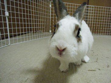 豊島区池袋ペットシッター-ウサギ-
