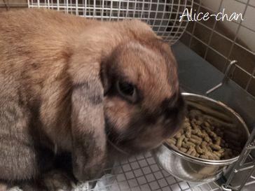 ペットシッター東京文京区-ウサギ-