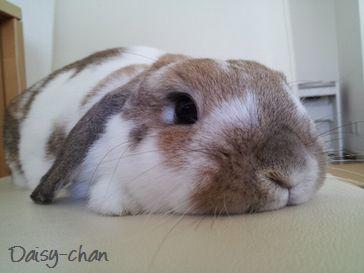 ペットシッター-ウサギ-