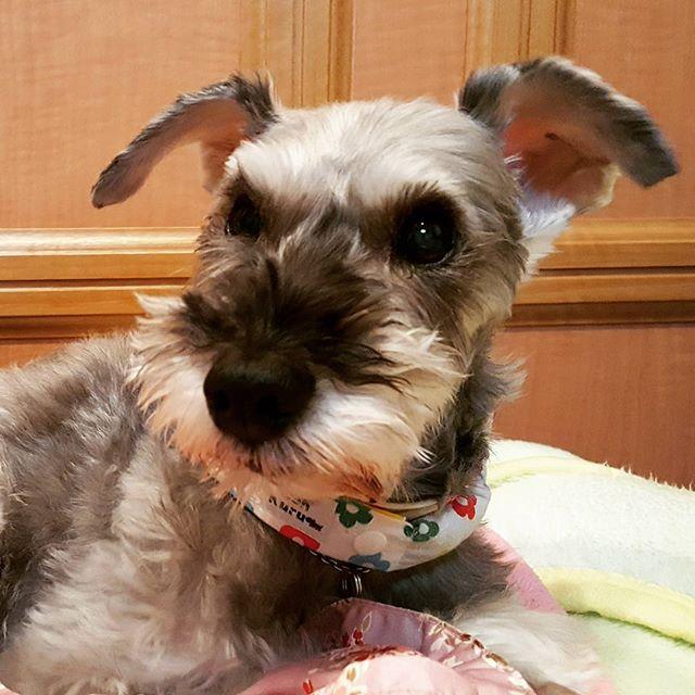 本当はもっと可愛いのに、カメラを向けるとこんな顔になるびびちゃん。#Tokyoペットシッター#ペットシッター#dog#いぬ #シュナウザー #Schnauzer
