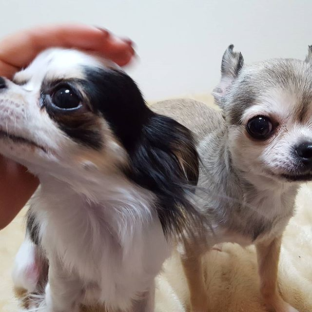 「ナデナデ争奪戦」が繰り広げられています。すみれちゃん&よつばちゃん#Tokyoペットシッター#ペットシッター#dog#チワワ#chihuahua