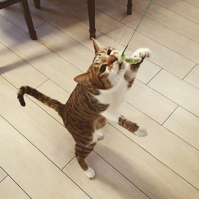 ネコさんが釣れました。#Tokyoペットシッター#ペットシッター#cat#ねこ#釣れました