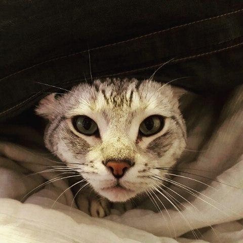ネコさんというよりも、ライオンとかに近い気がするサスケさん。#Tokyoペットシッター#ペットシッター#cat#ねこ#アメリカンカール#americancarl #猫というよりもライオン