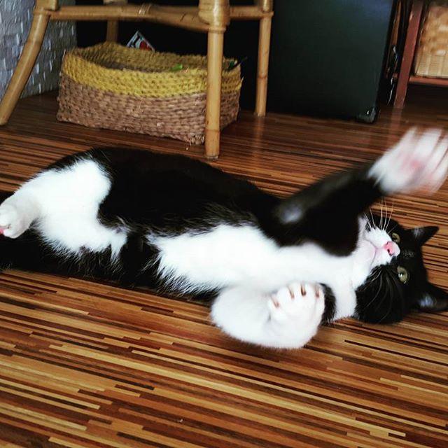 ノリノリあんこちゃん。#Tokyoペットシッター#ペットシッター#cat#ねこ#ノリノリ