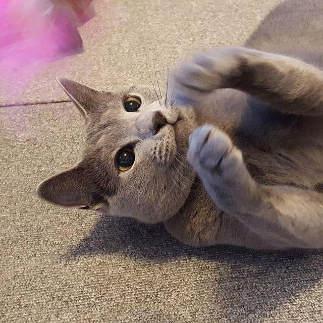 リリーちゃんの必殺ネコパンチ!#Tokyoペットシッター#ペットシッター#cat#ねこ#ロシアンブルー#russianblue