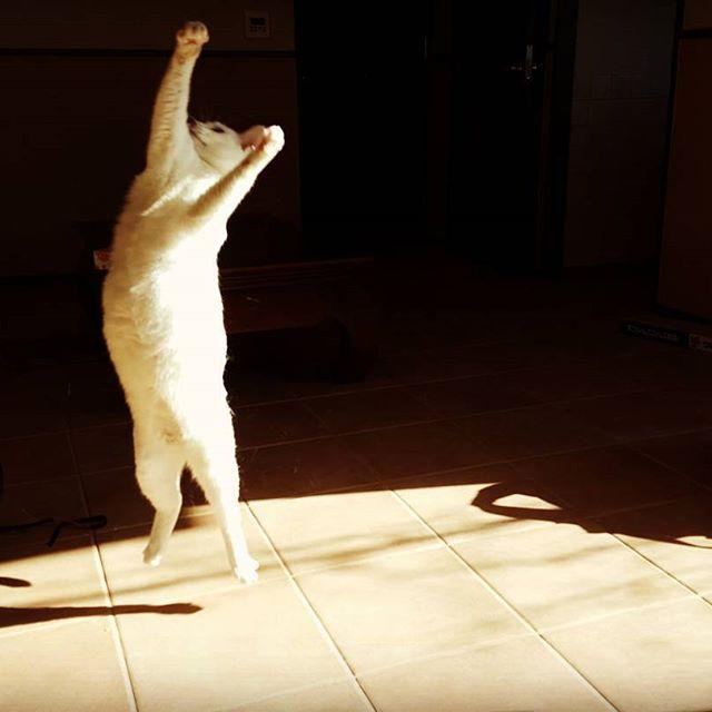垂直跳びの世界記録に挑戦中。ステラちゃん、陰ながら応援しています!🎖#Tokyoペットシッター#ペットシッター#cat#ねこ#垂直跳び