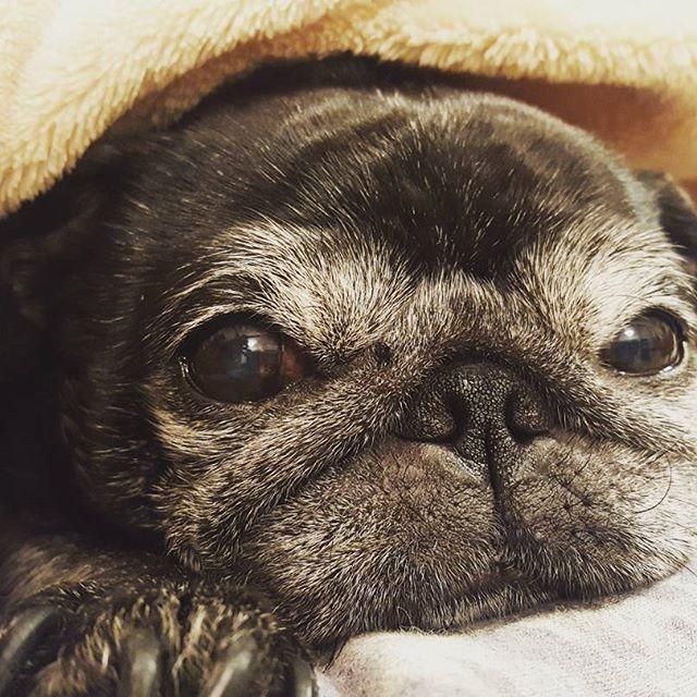 ごはん食べたら、もうおねむ。#Tokyoペットシッター#ペットシッター#dog#pug#パグ#黒パグ
