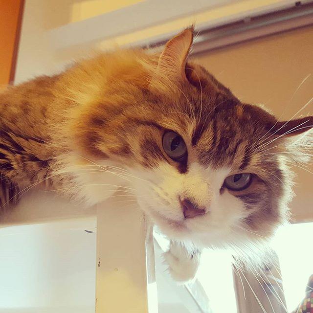 そしてサスケさんのセクシー過ぎる嫁、ギャビーさん。#Tokyoペットシッター#ペットシッター#cat#ねこ#アメリカンカール#americancarl #セクシー過ぎる猫