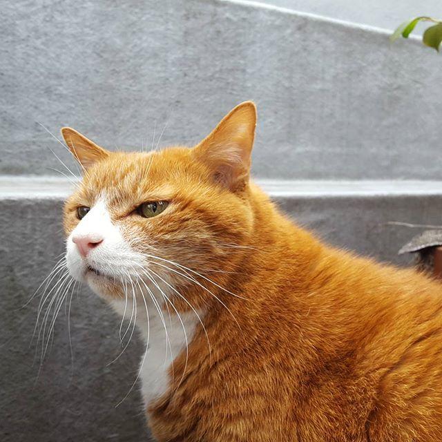 今朝はとっても寒いけど、外に出ると気持ちが良いらしい。#Tokyoペットシッター#ペットシッター#cat#ねこ#茶トラ#ベランダねこ