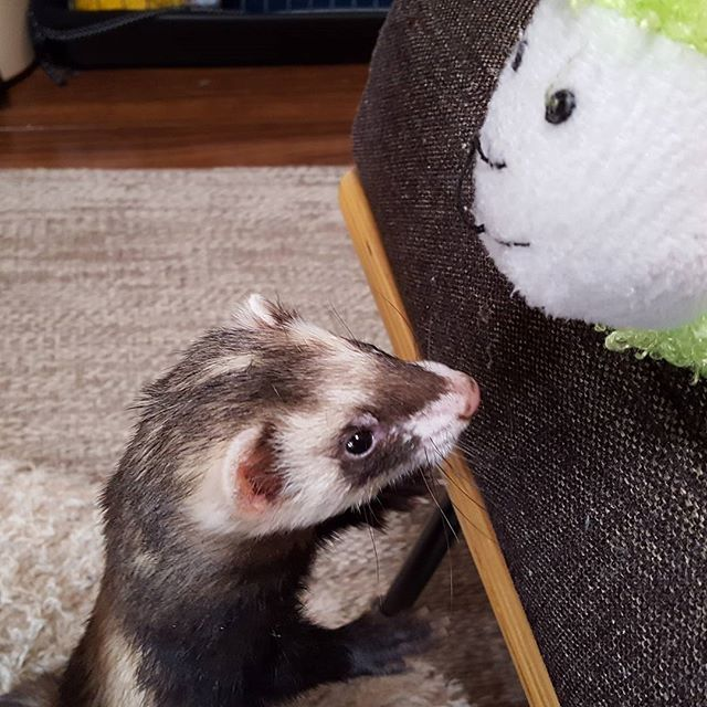 おてんばのマルコちゃん。#Tokyoペットシッター#ペットシッター#フェレット#ferret