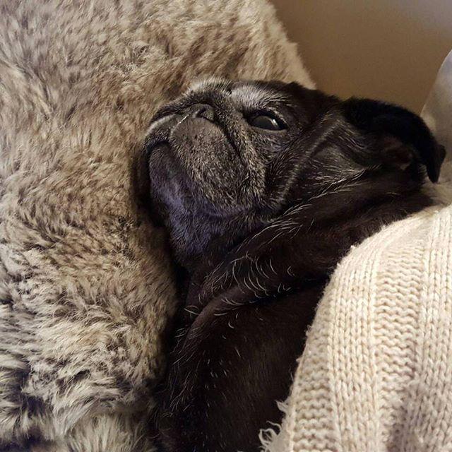 食後のパグ「あかん、もう寝るわ。」#Tokyoペットシッター#ペットシッター#dog#いぬ #パグ#黒パグ #pug#pugsofinstagram