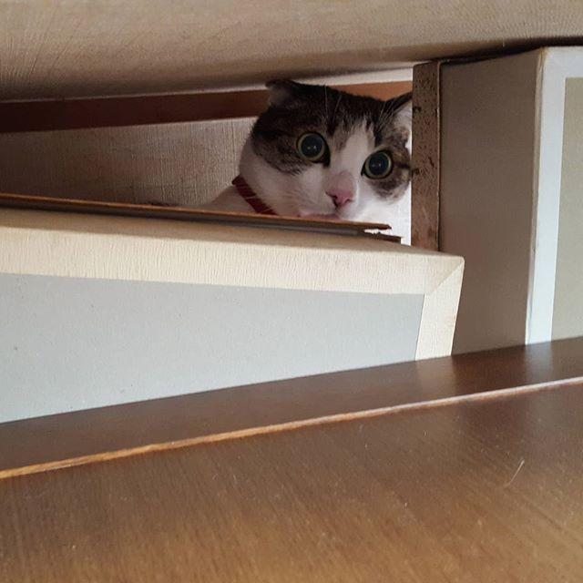 見上げたら、たんすの上から見下されていた#Tokyoペットシッター#ペットシッター#cat#ねこ