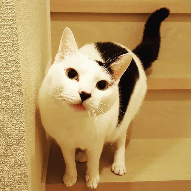 玄関開けたらこんなに可愛い牛さんがしぐれちゃん、たまりません。#Tokyoペットシッター#ペットシッター#cat#ねこ