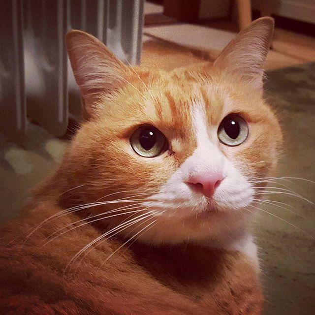 金太郎ちゃん、リョウくんとそっくり。でもやっぱり表情が全然違うな〜。#Tokyoペットシッター#ペットシッター#cat#ねこ#茶トラ
