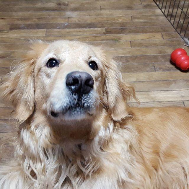 また会えました。今日も嬉しそう!#Tokyoペットシッター#ペットシッター#dog#いぬ #ゴールデンレトリバー#goldenretriever