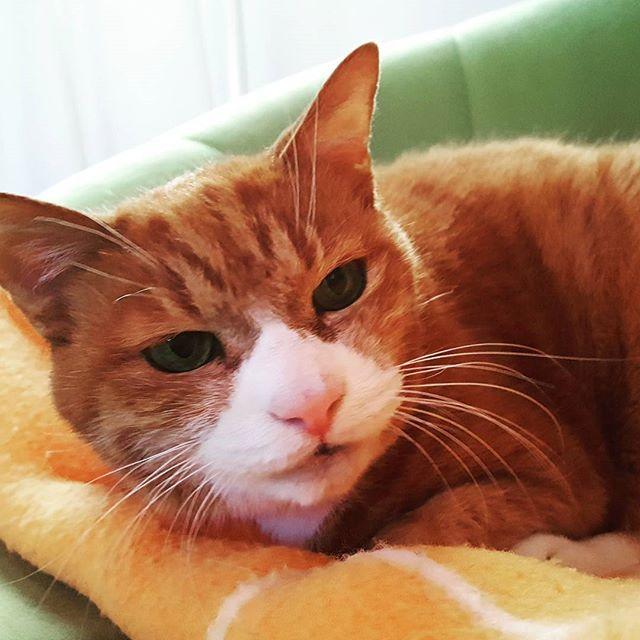 「おはようニャー!」の、リョウくん。#Tokyoペットシッター#ペットシッター#cat#ねこ#茶トラ