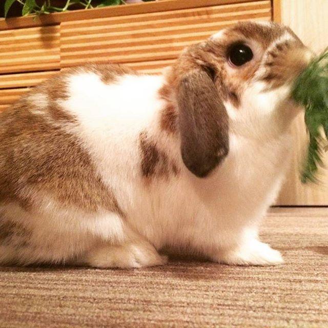 春菊を貪り食う、我が家のデイジー。#Tokyoペットシッター#ペットシッター#rabbit #うさぎ#ホーランドロップ#春菊