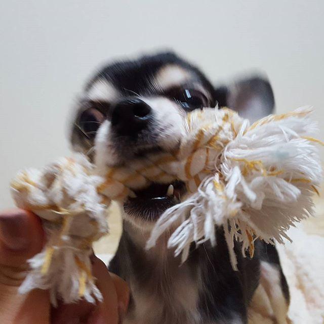 さくらちゃん、豹変。小さな猛獣(笑)ガオー!#Tokyoペットシッター#ペットシッター#dog#チワワ#chihuahua