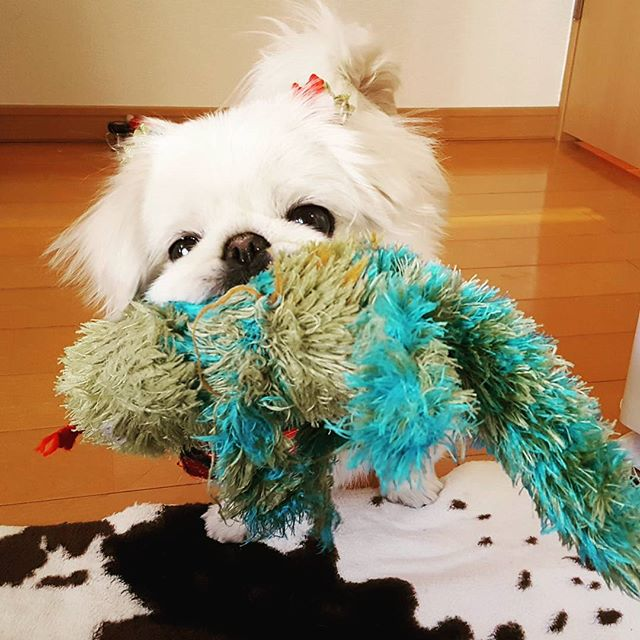 ももちゃん、穏やかそうなのに、遊び始めると意外とすごい。とにかく全部可愛い(笑)#Tokyoペットシッター#ペットシッター#ペキニーズ#犬#dog #Pekingese#はなぺちゃ