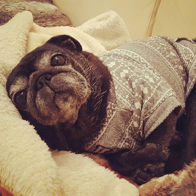 今日も一日、お疲れさま。#Tokyoペットシッター#ペットシッター#パグ#犬#dog #pug#はなぺちゃ#黒パグ#blackpug