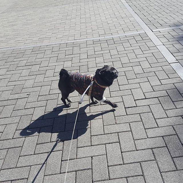 そしてルンルン♪#Tokyoペットシッター#ペットシッター#パグ#犬#dog #pug#はなぺちゃ#黒パグ#blackpug