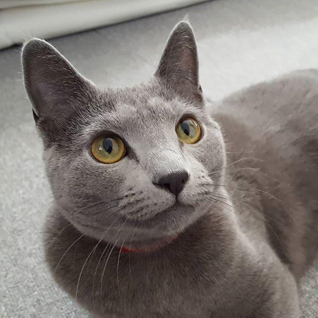 ご機嫌さんのリリーちゃん。#Tokyoペットシッター#ペットシッター#ねこ #ロシアンブルー #cats #cat #russianblue