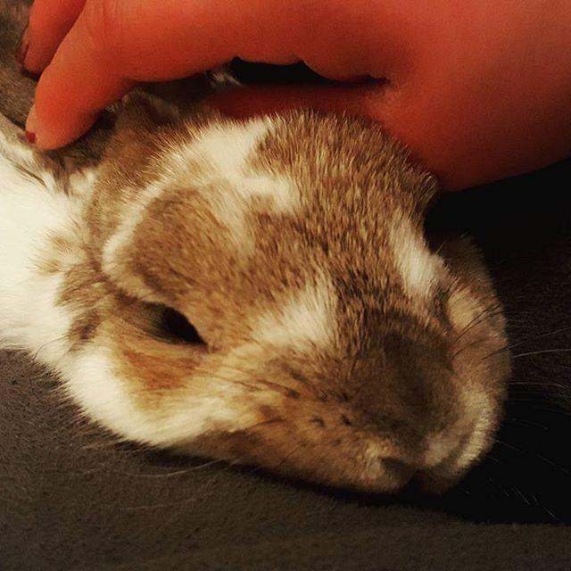 夫の愛人、デイジー嬢。この可愛さには完敗。悔いなし。#Tokyoペットシッター#ペットシッター#rabbit #うさぎ#ホーランドロップ