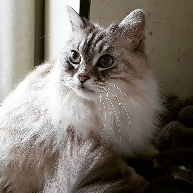 こんなに若い顔した甘えん坊さんの15歳は初めてかも。奇跡の15歳、トムちゃん♡#Tokyoペットシッター#ペットシッター#cat#ねこ#ちょうもうねこ #longhaircat#cats
