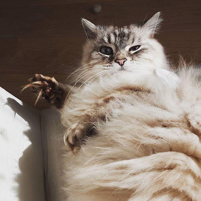 トムちゃん、おひさまの光を浴びて嬉しそう。#Tokyoペットシッター#ペットシッター#cat#ねこ#ちょうもうねこ #longhaircat#cats