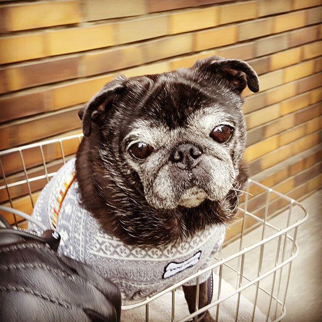 行きは徒歩。帰りは自転車。#Tokyoペットシッター#ペットシッター#パグ#犬#dog #pug#はなぺちゃ#黒パグ#blackpug