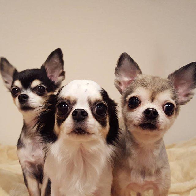 可愛すぎてゴメンナサイ。さくらちゃん♡すみれちゃん♡よつばちゃん♡#Tokyoペットシッター#ペットシッター#チワワ#犬#dog #chihuahua #chihuahuas
