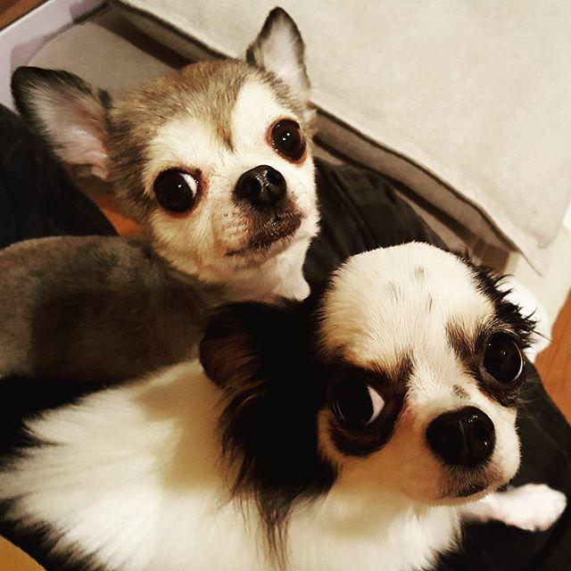 カメラ目線が上手過ぎ!(笑)#Tokyoペットシッター#ペットシッター#チワワ#犬#dog #chihuahua #chihuahuas