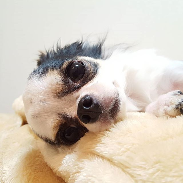 甘え上手の末っ子、よつばちゃん♡#Tokyoペットシッター#ペットシッター#チワワ#犬#dog #chihuahua #chihuahuas