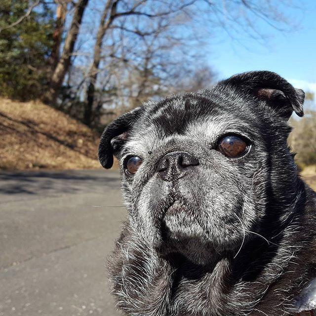 昨日は、お出掛けでした。公園だけど、もはや森(笑)!土がフワッフワ!#Tokyoペットシッター#ペットシッター#パグ#犬#dog #pug#はなぺちゃ#黒パグ#blackpug