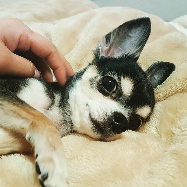 一番上のお姉ちゃんのさくらちゃん。#Tokyoペットシッター#ペットシッター#チワワ#犬#dog #chihuahua #chihuahuas