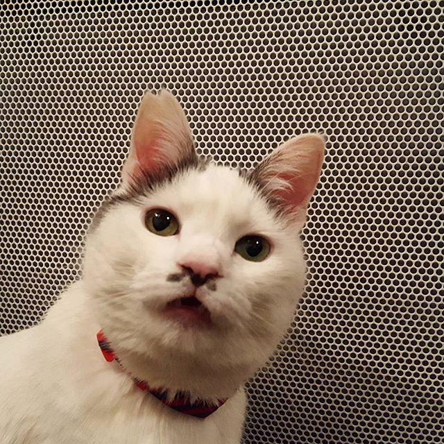 ハルちゃん、どこからどう見てもおじさん(笑)そこが大好き♡#Tokyoペットシッター#ペットシッター#ねこ #おじさんねこ #cat #cats