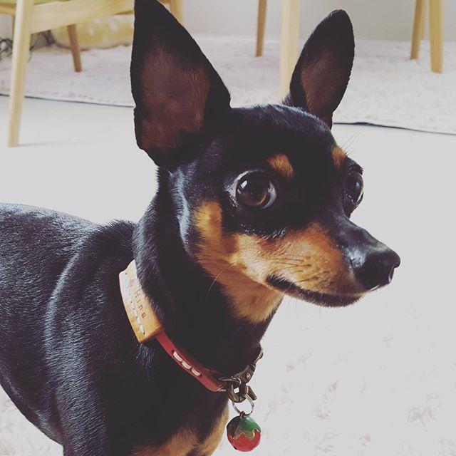 国宝級アイドル、ヒナちゃん#Tokyoペットシッター#ペットシッター#犬 #dog #ミニチュアピンシャー #miniaturepinscher inscher
