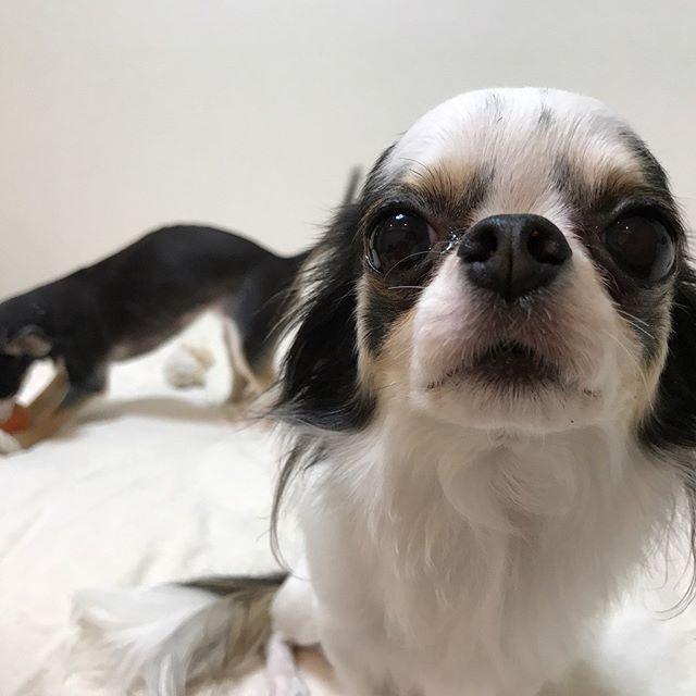長らく更新をしておりませんでしたが、ようやくスマホが復活いたしました!また宜しくお願い致します(´∀`)!愛しの3チワちゃんたち、今回も甘えん坊全開です。#tokyoペットシッター#ペットシッター#dog#chihuahua #チワワ #犬