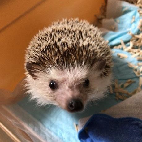 シュシュちゃん️やっと可愛いお顔を見せてくれるようになりましたここまで来るのが長かった〜!#tokyopetsitter #ペットシッター #hedgehog #ハリネズミ