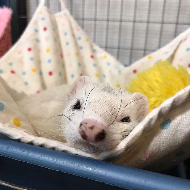 おねむのフィリアちゃんと、遊ぼうぜ!のマルコちゃん️#tokyopetsitter #ペットシッター #ferret#フェレット