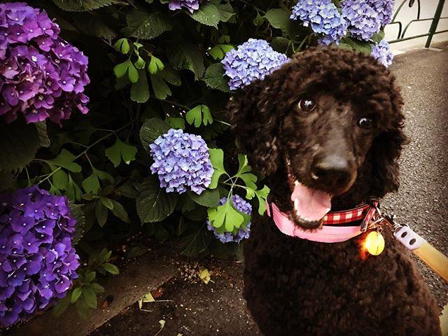 大好きニコちゃん️上手にマテをしてくれるので、可愛い写真が撮れました#tokyopetsitter #ペットシッター #いぬ #dog#スタンダードプードル #standardpoodle