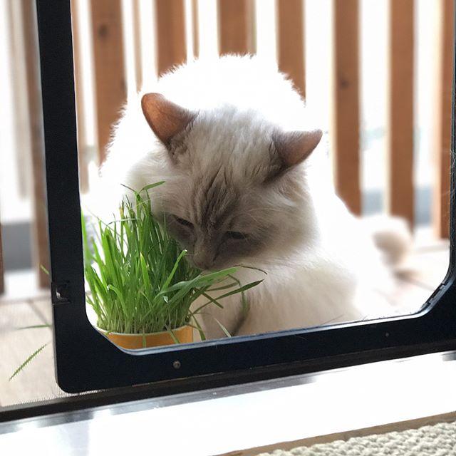 美男子ケイタツくんお留守番で拗ねてしまうところも可愛らしい#tokyopetsitter #ペットシッター #cat#ragdoll #ねこ#ラグドール