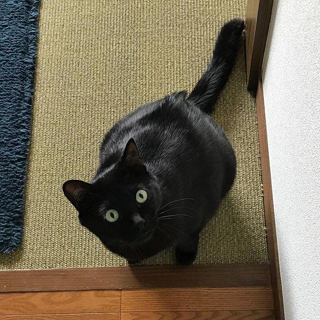 黒ネコ、ナラちゃん。「ごはん待ってたよ〜!」のお顔です#tokyopetsitter #ペットシッター #cats #猫#くろねこ